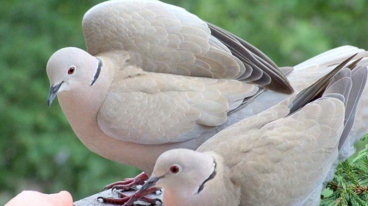 makanan burung puter